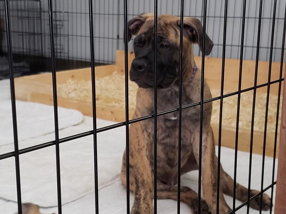 Purebred South African Mastiff Puppies Available - Niagara
