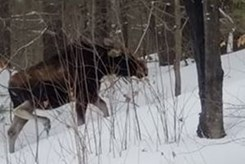 Shocked and outraged Kilworthy residents question OPP moose