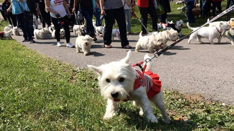 Image result for westies dog, walking a park