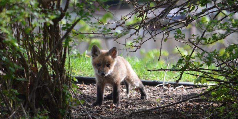 Family of foxes delights New Hamburg family | TheRecord com