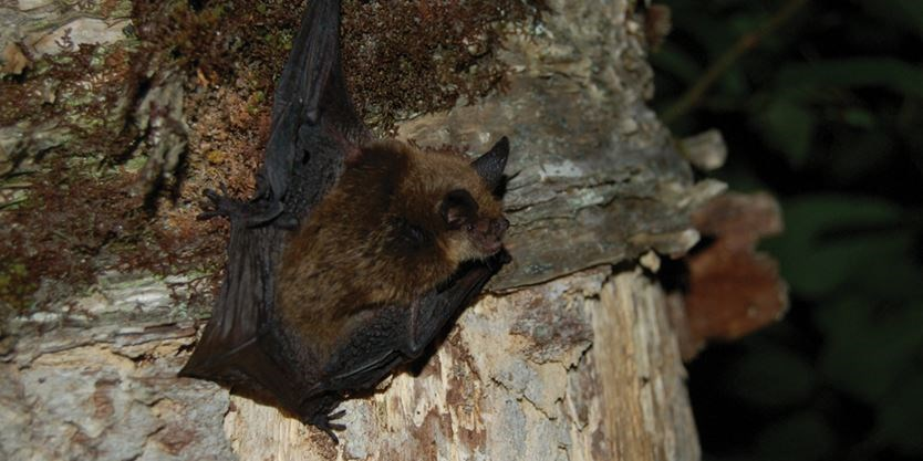 One Of Muskoka S Resident Bats And Those Whose Numbers Is In Drastic Decline Due To White Nose Syndrome The Northern Long Eared Bat