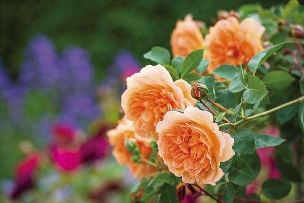 david austin roses coupon code uk