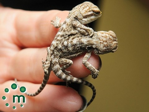 Two-headed bearded dragon born in Bowmanville