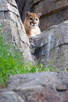 Cougars in ontario