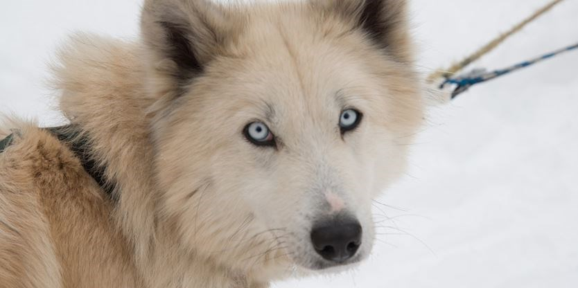 Windrift Kennels Said Ospca Misrepresented Dogsledding