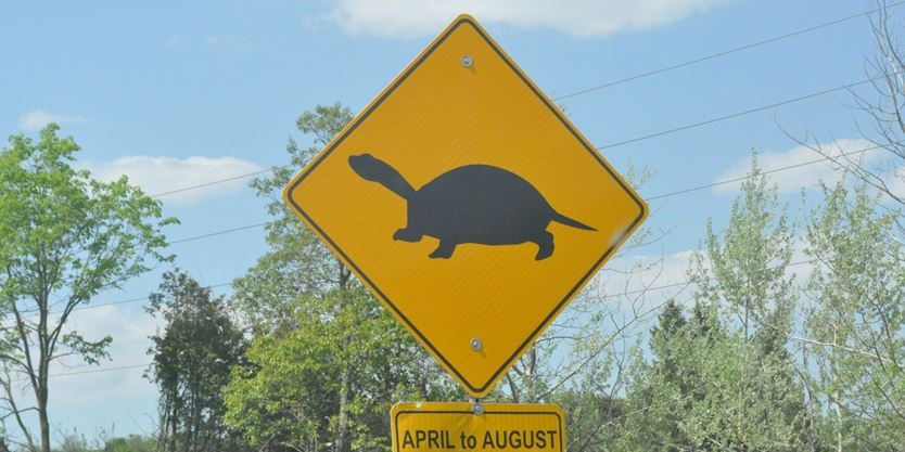 Slow Turtle Crossing >> Turtle Crossing Season Help Turtles Cross The Road Safely In