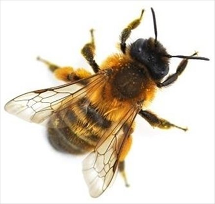 mason bees the best pollinator you never heard of on april 28 2018