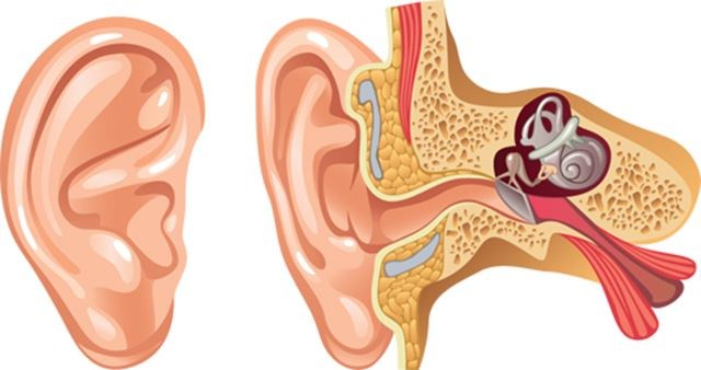 Understanding Ears And The Way We Hear Sound Guelphmercury