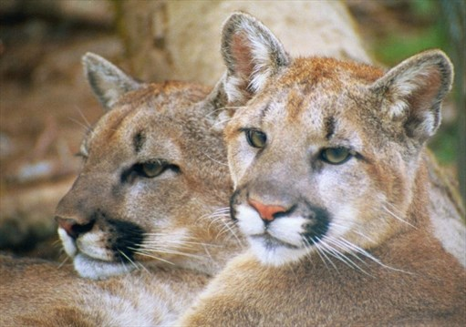 Cougars in mississauga