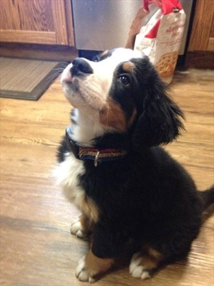 Devastated' Cayuga woman duped out of $1,300 in Kijiji puppy scam