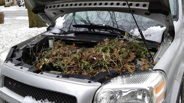 A Photo Of The Nest Made By Squirrels On Engine Kitchener Resident Pat Curran S Van Is Used Every Day But Mess Wasn T Noticed Until