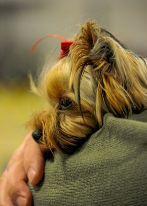 PHOTOS: Working like a dog: Scarborough Kennel Club puts