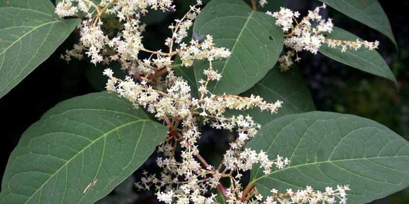 JapaneseKnotweed