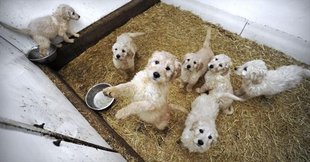Amish kennel clash shines light on puppy pedlars