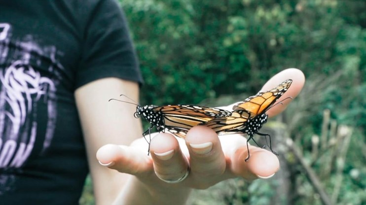 fb685c42c Visitors get a closer look at Monarchs at the Cerro Pelon Monarch Butterfly  Sanctuary. - RODNEY FUENTES/SPECIAL TO THE EXAMINER