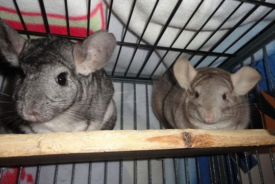 Opinion Critter Chatter Mother Daughter Chinchilla Duo Hope For Home Together Toronto Com