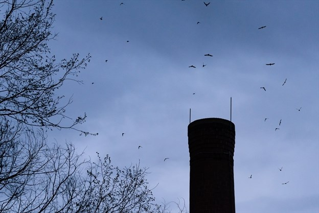 Counting Parry Sound's chimney swifts | ParrySound com