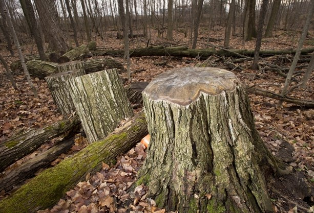 Stumps Remain After Trees Were Cut Down Along The Doreen Thomas Trail Which Skirts Laurel Creek Reservoir In Waterloo Beetle Infestations Will Mean