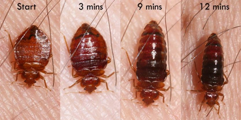 Bed Bug After Feeding