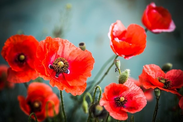 There S A Right Way To Wear A Poppy Hamiltonnews Com