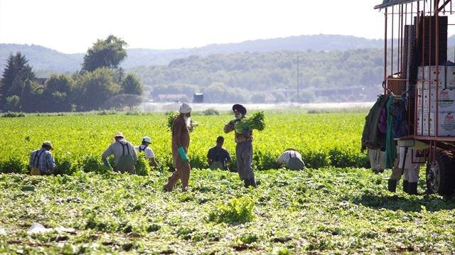 Migrant Workers Program Vital To Farmers In Holland Marsh