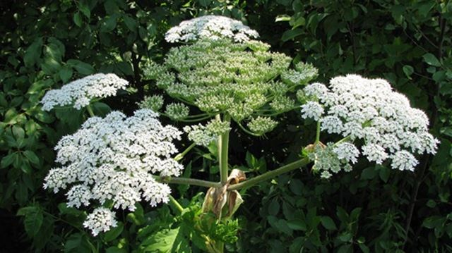Toxic giant hogweed poses threat to humans and flora in Peel | Mississauga .com