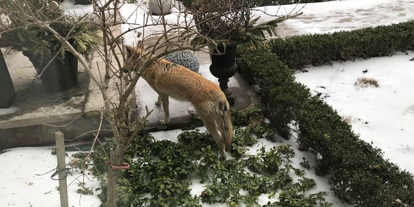 Halton Coyote Lookout: Coyote at Oakville residents' door