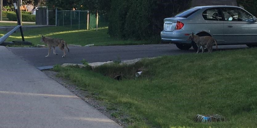 Coyotes spotted in front yard