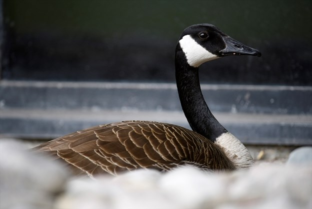 canada goose feather source