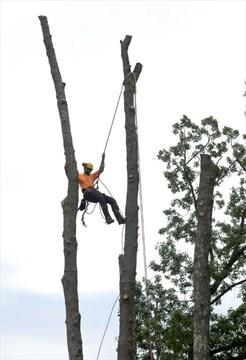 Police intervene in bylaw battle over cutting dead ash trees