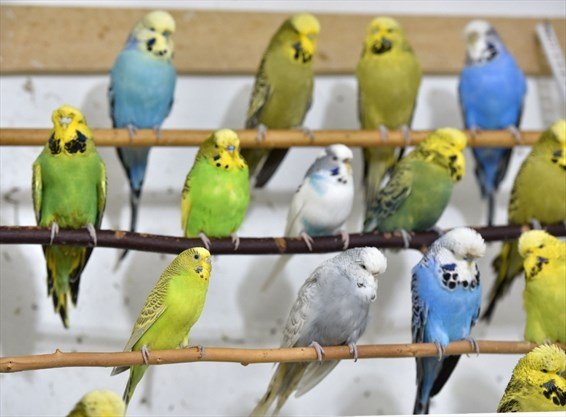 Budgie owners say four-pet maximum bylaw is for the birds