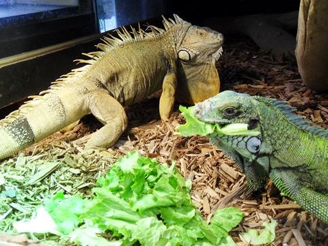 Pets Iguanas Are Like Dogs But Much Bigger Says All About Reptiles Toronto Com