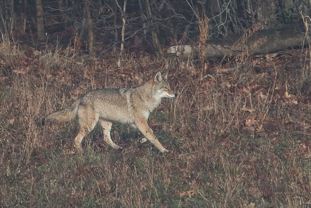 """Coyote season dawns upon Wilmot Township:'Sometimes a radio playing will help"""""""