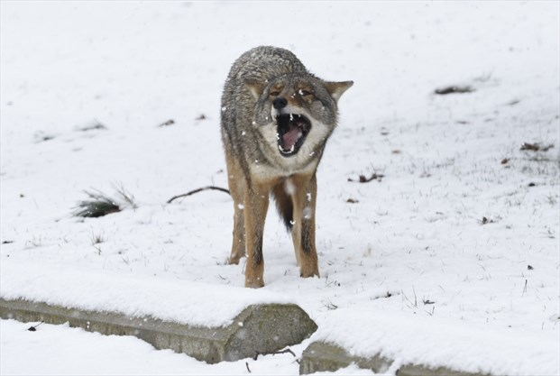 Mississauga coyote sightings up in June, city data shows
