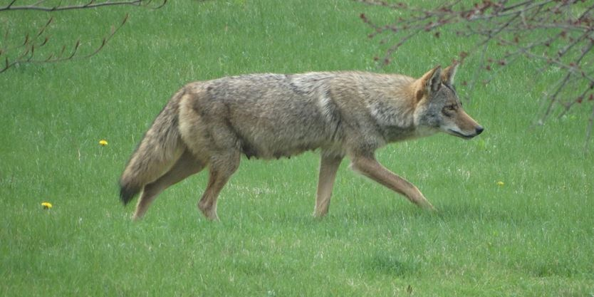 Halton Coyote Lookout: Here are the latest sightings
