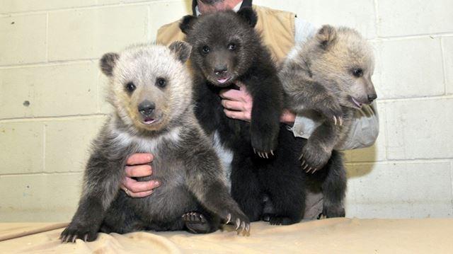 Bear twick