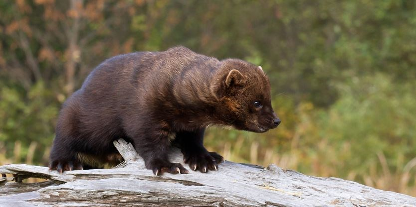 Pointe Au Baril man fined for trapping fisher in closed season | ParrySound.com