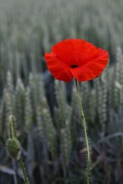 In the garden what to make of the poppy guelphmercury poppy the poppy is novembers symbolic flower mightylinksfo