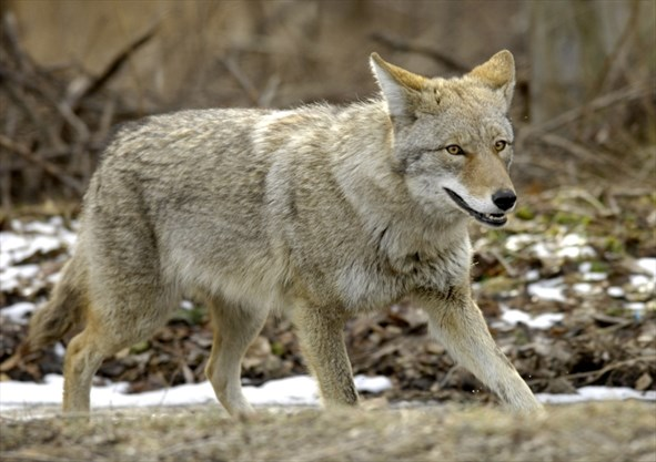 Remains of 20 coyotes found in wooded area of southwestern