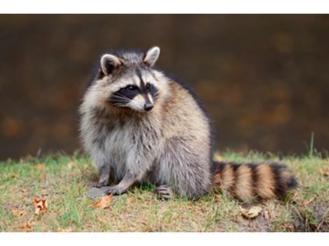 How to protect your garbage or garden from raccoons How to keep raccoons out of garden