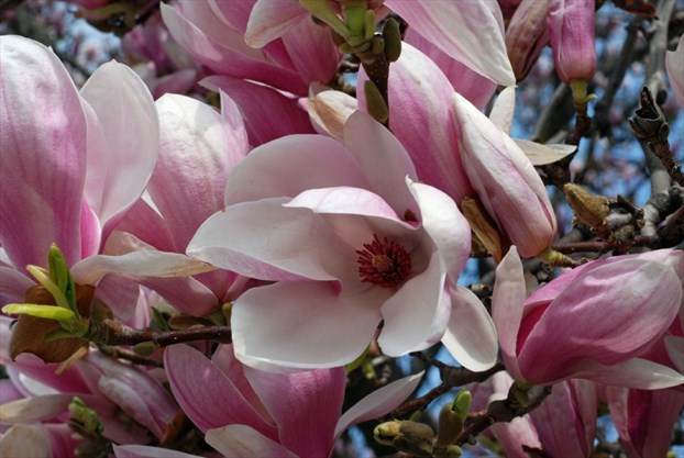 Kathy Renwald Moving A Magnolia Thespeccom