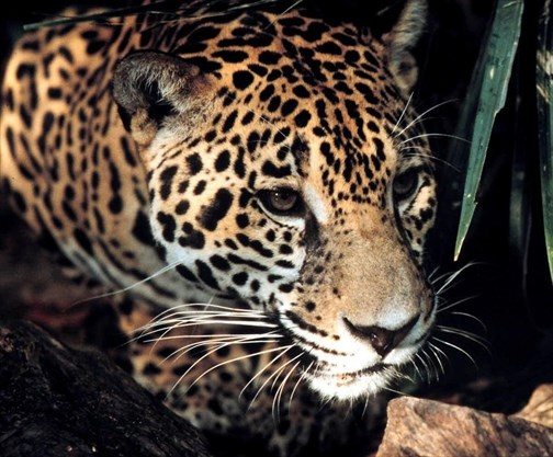 She tried to take a selfie with a jaguar  It attacked her