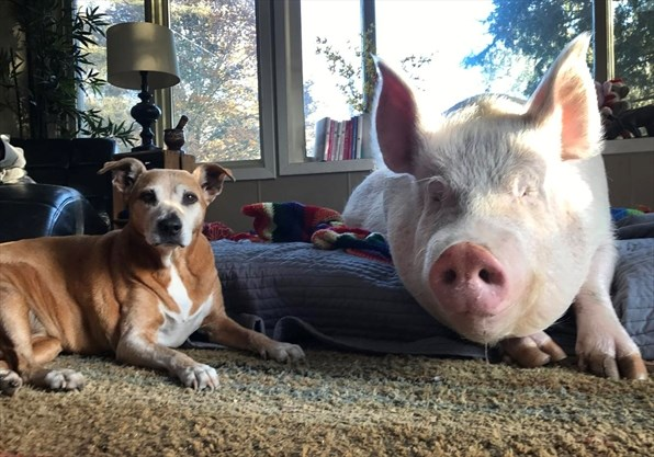 Fans outraged after Esther the Wonder Pig locked out by Twitter