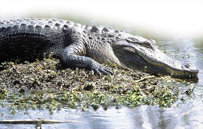 Another body found in the mouth of a Florida alligator: report