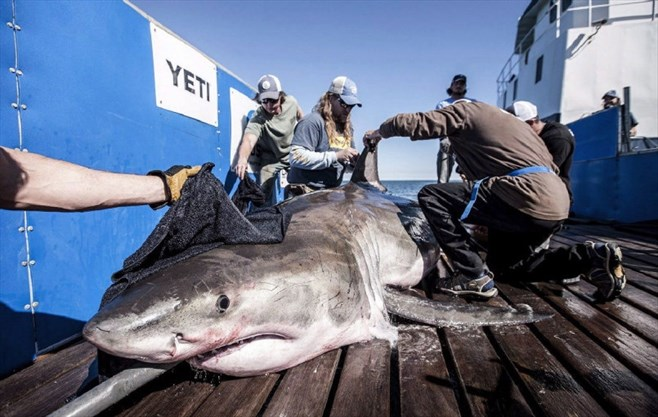 A shark known as Hilton is seen in this undated handout photo. Hilton hasn't left Nova Scotia yet. The 600-kilogram great white shark -- tagged by the ...