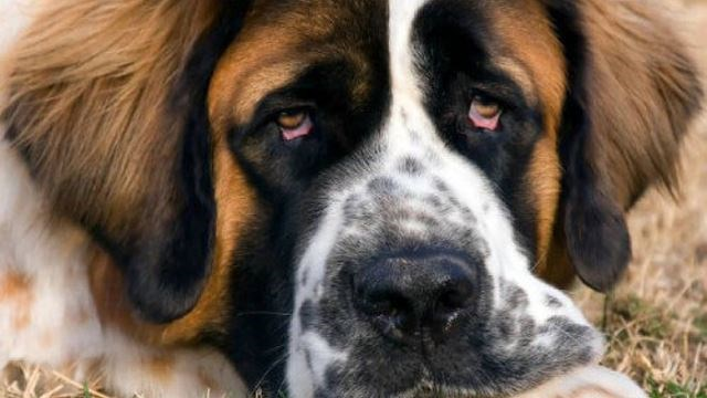 St. Bernard Bites Hamilton Man's Face After Owner Warns No