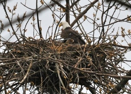 Opinion What Exactly Is In A Bald Eagle S Nest Niagarathisweek Com