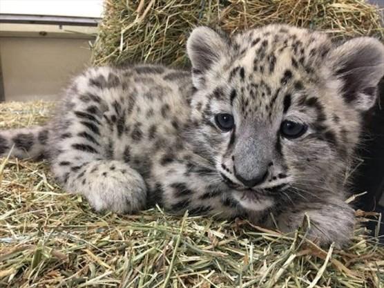 Snow Leopard Cub Dies From Pneumonia At Toronto Zoo